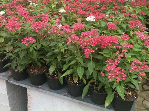 Những chậu hoa Cúc Diễm Châu nở rộ