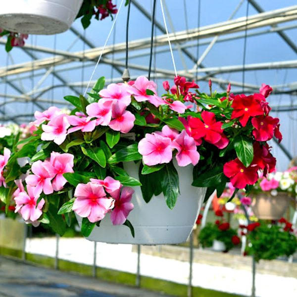 Chậu hoa Dừa Cạn - Hoa trồng trong chậu nở quanh năm