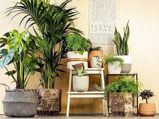 Những chậu cây đẹp trong nhà góp phần điều hòa không khí